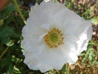 花毛茛、鸡冠花、虞美人、角堇