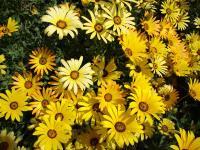 异果菊、银边翠、紫点幌菊、醉蝶花等野花组合种子