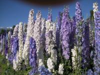 1大滨菊、西洋滨菊、钓钟柳、飞燕草等野花组合种子