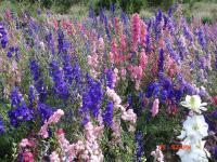 飞燕草、高山紫苑(高)、高山紫苑(矮)、黑心菊等种子