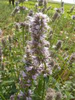 高山紫苑(高)、高山紫苑(矮)、黑心菊、藿香