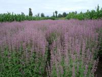 高山紫苑(矮)、黑心菊、藿香、虞美人等种子