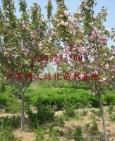 塔柏、櫸樹、木槿、蜀檜、紅楓、櫻花、桂花、榆葉梅、金銀