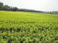 大小叶黄杨、红叶小檗、金叶女贞、小叶女贞、小叶水蜡