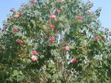 芙蓉花 、夹竹桃