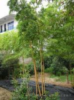 绿皮黄筋竹、绿槽毛竹、黄槽毛竹、花毛竹、少穗竹、水竹及各种盆竹