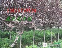 大量供应:紫叶李、红叶李、郁李彩叶苗木花卉植物红叶李等行道树