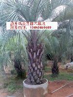 布迪椰子|江苏布迪椰子|浙江布迪椰子|漳州布迪椰子