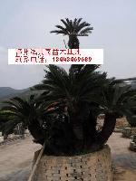 铁树|漳州铁树|福建铁树|浙江铁树|江西铁树
