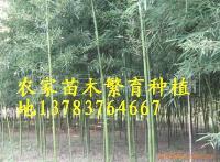 竹子价格,紫竹价格,刚竹价格,早园竹价格,铺地竹,阔箬竹价格