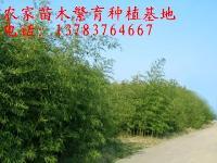 竹子价格表,紫竹价格,刚竹价格,铺地竹价格,阔叶箬竹价格表