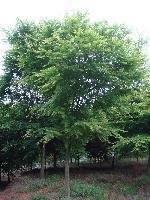精品鸡爪槭