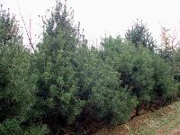 常绿乔木、桉树、八角枫、白檀、八角茴香、白皮松价格表