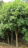 猴樟、灰木莲、红花荷、黄心夜合、黑板树、桔子、金合欢价格表