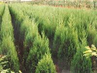 青冈栎、秋枫、日本柳杉、乳源木莲、榕树、箬棕、铅笔柏价格表
