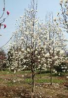 桫椤树、三尖杉、天竺桂、铁树、桃花心木、五针松价格表