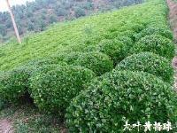 低价供应黄杨球、江苏沭阳大叶黄杨球基地