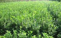 江苏地被苗卫矛、金叶女贞、红叶小檗、蜀桧、雪松龙柏等工程用苗