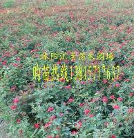 农户价出售红帽月季 丰花月季 蔷薇 藤本月季