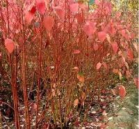 苗圃种植苗、工程用苗红瑞木、锦带花、连翘、迎春花