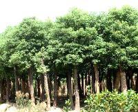 香樟树、榕树等各类绿化快乐赛车玩法