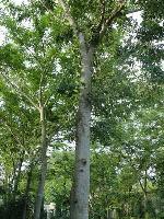 北美落羽杉、北美枫香、板栗、白栎、白桦、白蜡价格表