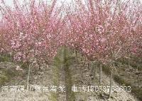 池杉、臭椿、垂丝海棠、垂枝海棠、垂枝桃、刺槐价格表