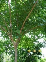刺桐、檫树、秤锤树、垂枝梅、茶条槭、重阳木价格表