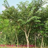 垂枝银花柳、垂枝金花柳、灯台树、垂枝樱花价格表