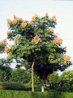滇朴、二乔玉兰、枫香、枫杨、复叶槭、复羽叶栾树价格表