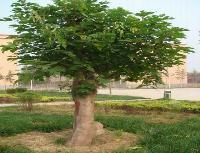 凤凰木、国槐、光皮树、国王枫、鼓钉树、构树价格表
