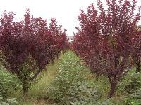 红叶桃、厚朴、合欢、槐树、花梅、核桃、火炬槭价格表
