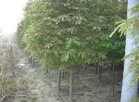 落羽杉、榔榆、栾树、龙爪槐、蓝果树、柳栎、梨树价格表