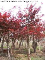 李子树、马褂木、墨西哥落羽杉、梅花树、美国红枫价格表
