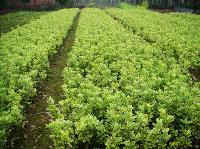 长沙金边黄杨 移栽紫薇、移栽朴树、乐昌含笑