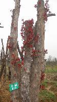 椤木石楠 红枫、杜英、三角枫、龙爪槐