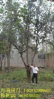 水杉、山核桃、丝棉木、三角枫、山楂、柿树价格表