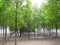 枣树、银鹊树、梓树、杂交马褂木、中山杉、皂荚价格表