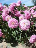 大量供应野菊花、一枝黄花、羽扇豆、鸢尾等宿根花种