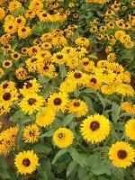大量供应香雪球、小冠花、小丽花、萱草等宿根花种