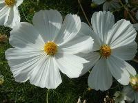 大量供应勿忘我、香雪球、小冠花、小丽花等宿根花种