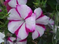 大量供应蜀葵、水杨梅、松果菊、宿根兰花鼠尾草等宿根花种