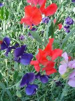 大量供应一枝黄花、羽扇豆、鸢尾、月见草等宿根花种