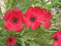 大量快乐赛车开奖马蔺、麦仙翁、蔓锦葵、美国薄荷等宿根花种