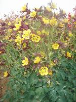 大量供应麦仙翁、蔓锦葵、美国薄荷、美国石竹等宿根花种