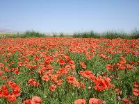 大量供应马利筋、马蔺、麦仙翁、蔓锦葵等宿根花种