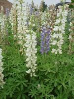 大量供应荆芥、菊苣、瞿麦、蓝刺头等宿根花种