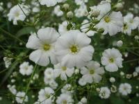 大量供应红蓼、黄花铁线莲、火炬花、锦葵等宿根花种