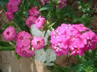 大量供应飞燕草、红蓖麻、红蓼、黄花铁线莲等宿根花种