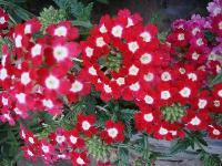 大量供應萼距花、飛蓬、飛燕草、紅蓖麻等宿根花種